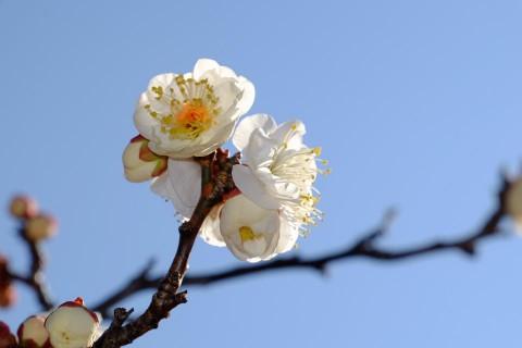 小金井公園梅の花(白)