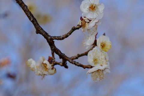 小金井公園梅の花これもフラッシュ撮影
