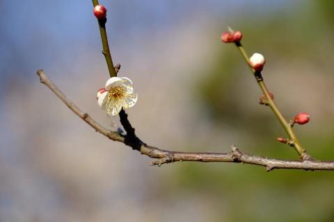 小金井公園梅の花ボケが綺麗