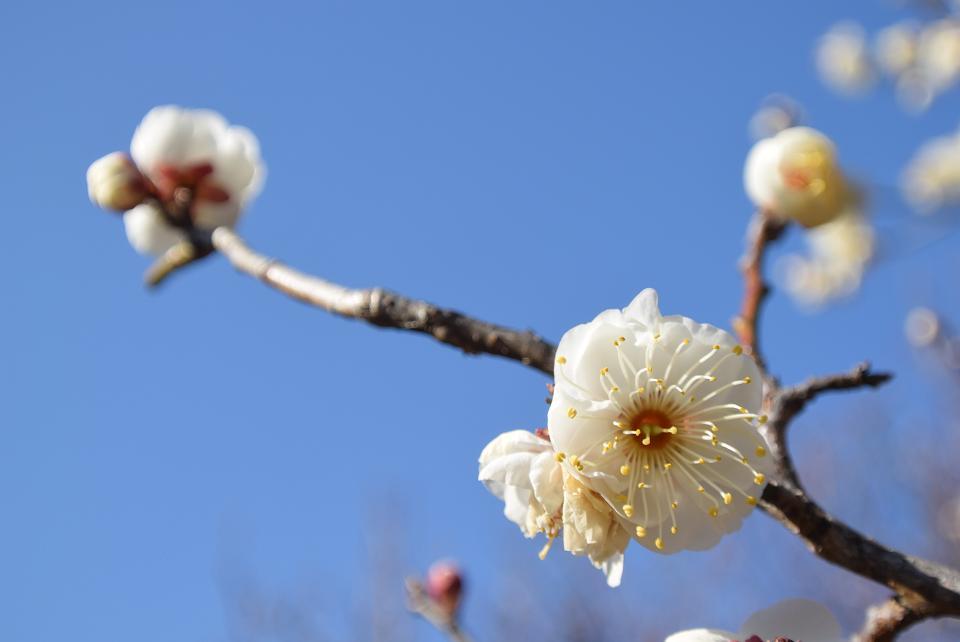 小金井港お延の梅。白飛びせず