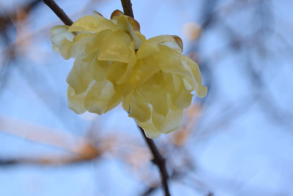 小金井公園のロウバイの透明感